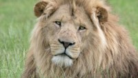 Lion of Longleat