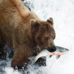 Inside Passage - Grizzly Bear fishing